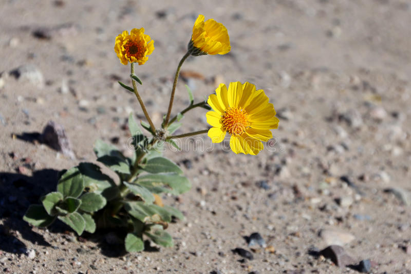 Pustynnych Wildflowers Pustynny złoto (Geraea canescens) zdjęcie stock