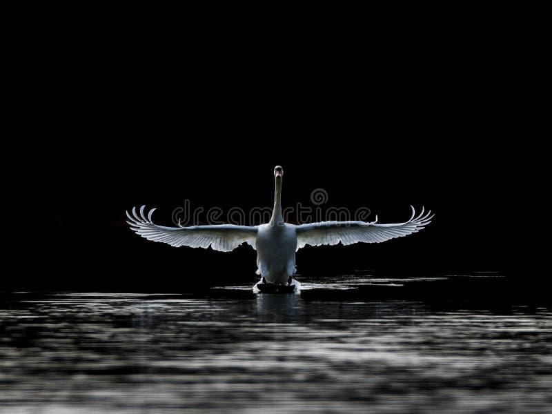 Puszek, niemego łabędź lądowanie z ciemnym tłem zdjęcia stock