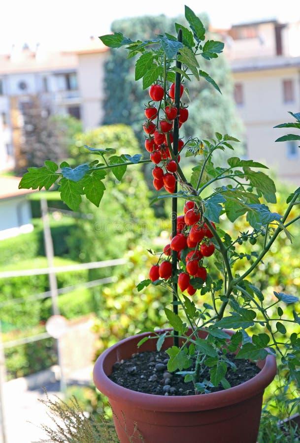 Puszkuje z czereśniowym typ pomidory r na balkonie dom zdjęcia royalty free