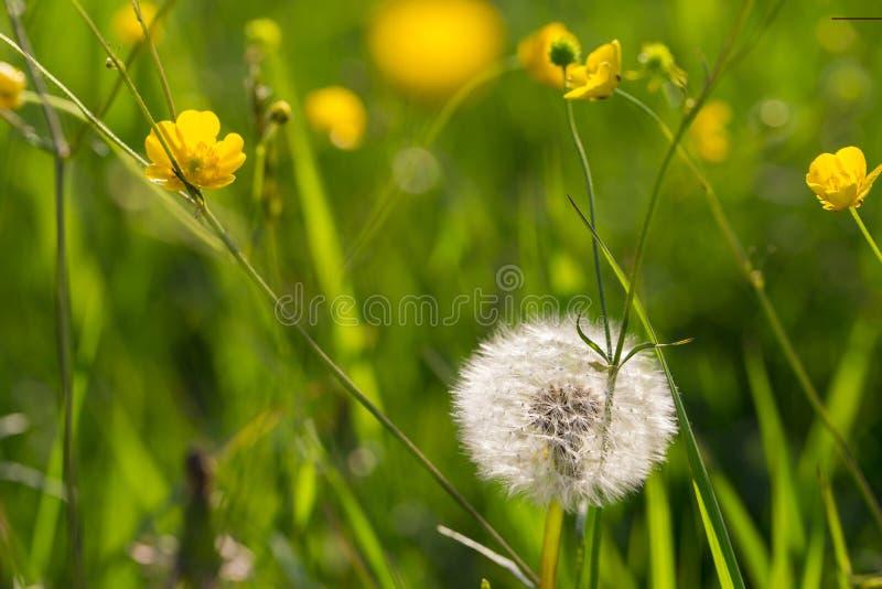 Puszyści dandelion i koloru żółtego kwiaty w zielonej trawie w górę obrazy stock