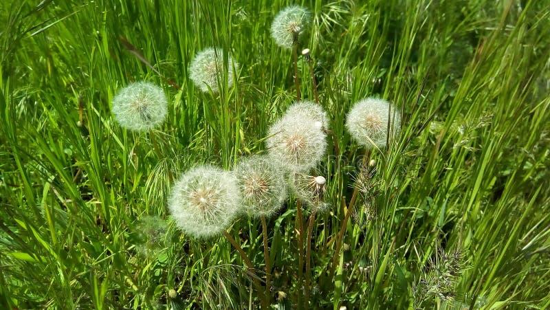 Puszyści dandelions z powiewnymi białymi parasolami wśród zielonej trawy zdjęcia royalty free