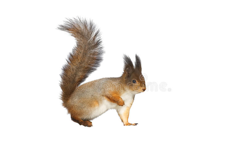 Puszysta czerwona wiewiórka na białym tle zdjęcia stock