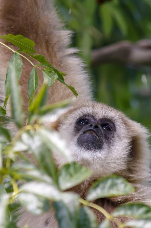Puszysta małpia twarz przyglądająca w górę fotografia stock