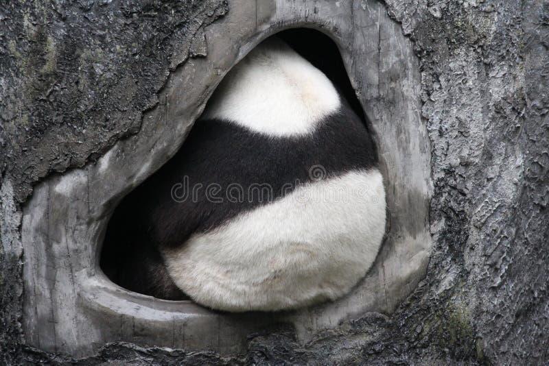 Puszysta panda obrazy royalty free