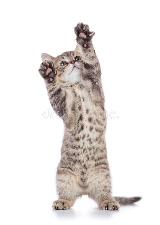 Puszysta szara kot figlarka, hoduje szkocki prostego, bawić się nad białym tłem obrazy stock