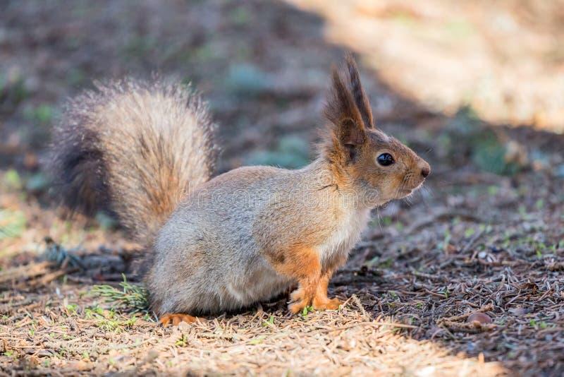 Puszysta wiewiórka na ziemi obrazy royalty free