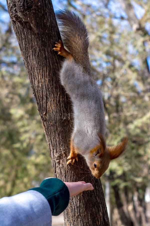 Puszysta wiewiórka trzymająca pazurami na drzewie i łasowanie dokrętkach od młodej dziewczyny ręki w kurortu parku, słoneczny dzi fotografia royalty free