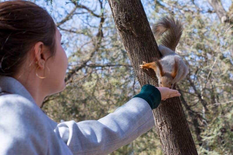 Puszysta wiewiórka trzymająca pazurami na drzewie i łasowanie dokrętkach od młodej dziewczyny ręki w kurortu parku, słoneczny dzi zdjęcie stock