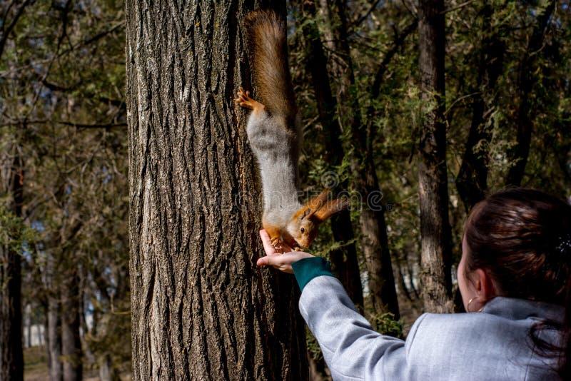 Puszysta wiewiórka trzymająca pazurami na drzewie i łasowanie dokrętkach od młodej dziewczyny ręki w kurortu parku, słoneczny dzi zdjęcia stock