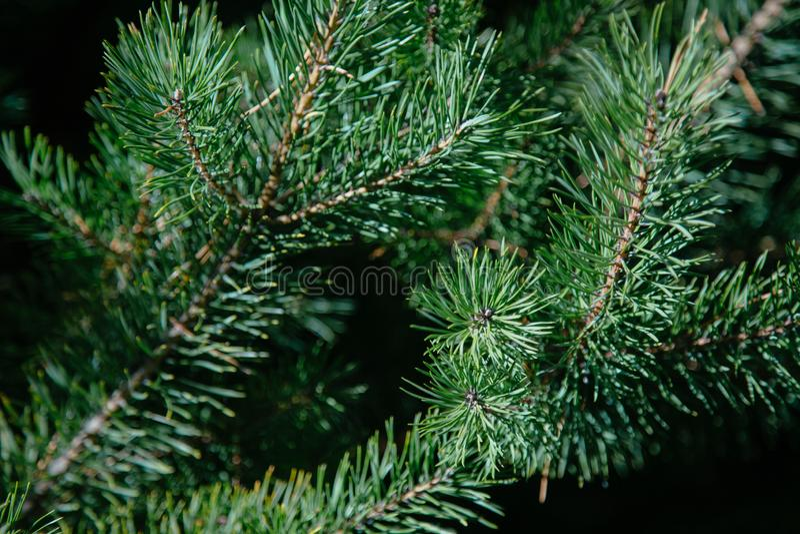 Puszysta zielona sosna rozgałęzia się przeciw niebieskiemu niebu obraz royalty free