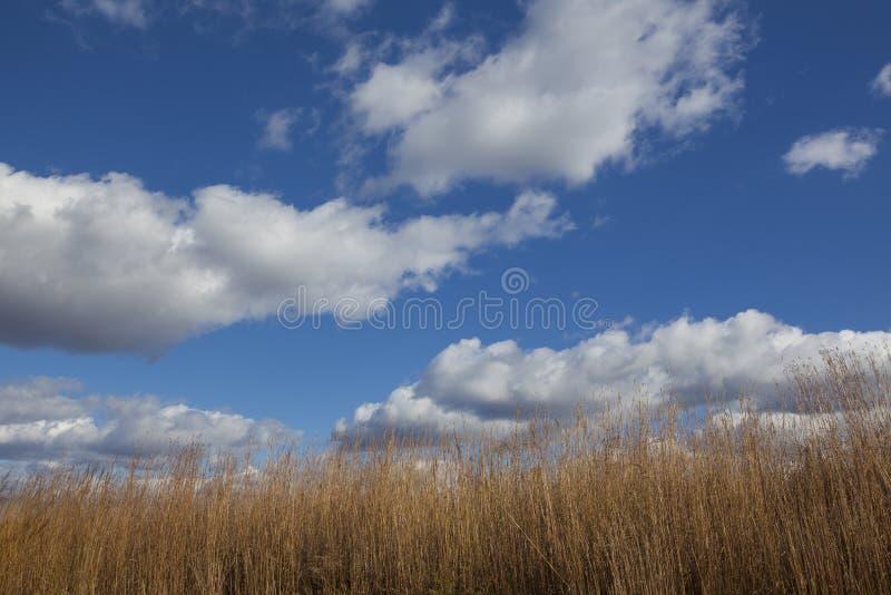 Puszyste chmury na niebieskim niebie z wysuszoną wysoką preryjną trawą obraz royalty free
