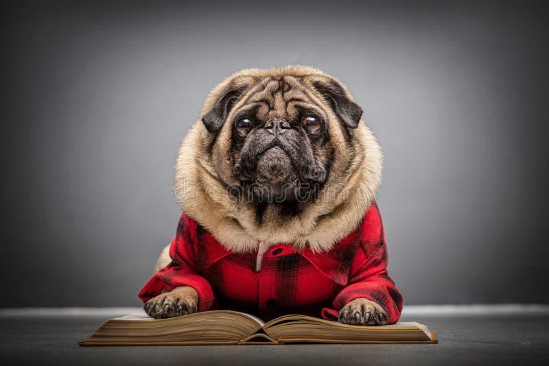 Puszystego mopsa psi kłaść na starej książce fotografia royalty free