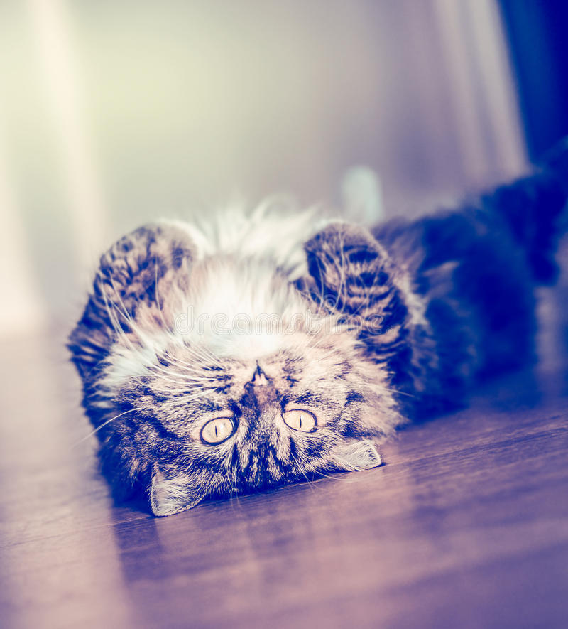 Puszysty śmieszny kota lying on the beach i obraca dalej ona na parkietowej podłoga i patrzeć kamerę z powrotem obrazy stock