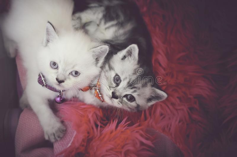Puszysty brązu i bielu tabby koci się obsiadanie w kota łóżku i patrzeć w kierunku kamery obrazy stock