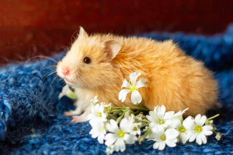 Puszysty chomik z kwiatami na błękitnym tle zdjęcia royalty free