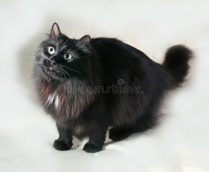 Puszysty czarny kot stoi na szarość z zielonymi oczami zdjęcia royalty free