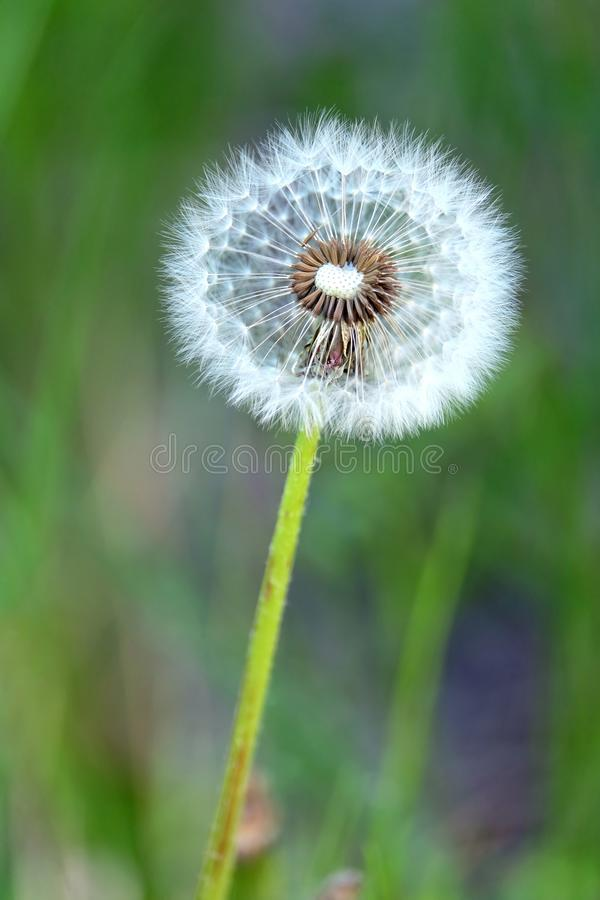 Puszysty dandelion kwiat z dojrzałymi ziarnami w zielonej trawy polu jako tło na lato słonecznego dnia zbliżeniu fotografia stock