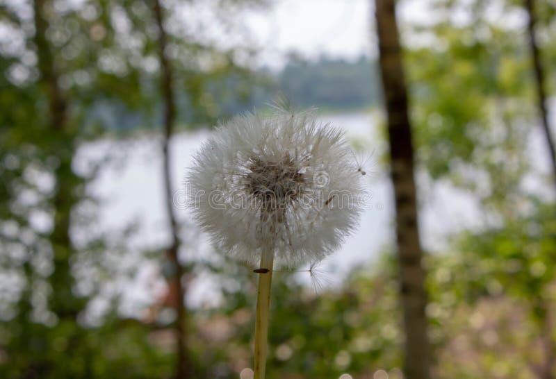 Puszysty dandelion w tle rzeka zdjęcie stock