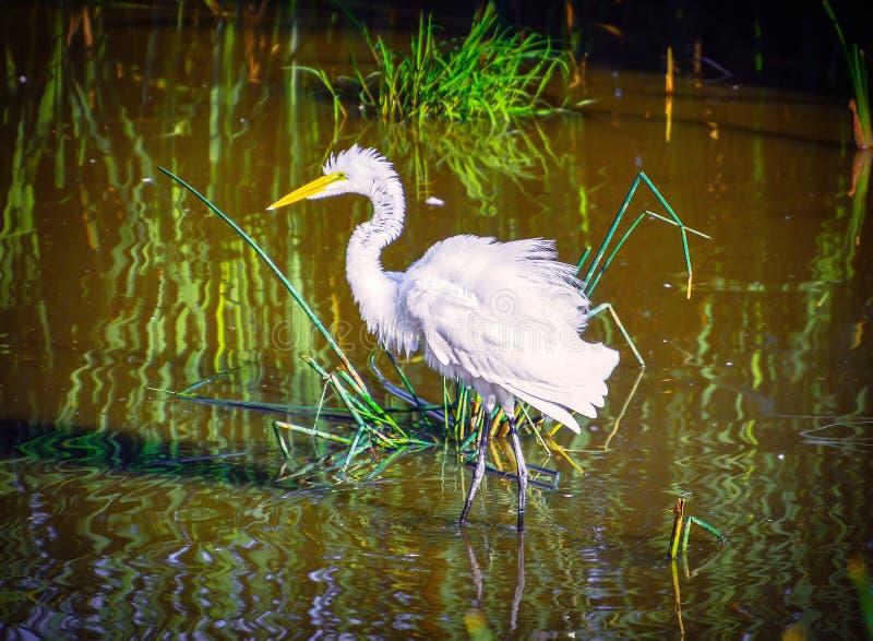 Puszysty Egret fotografia stock