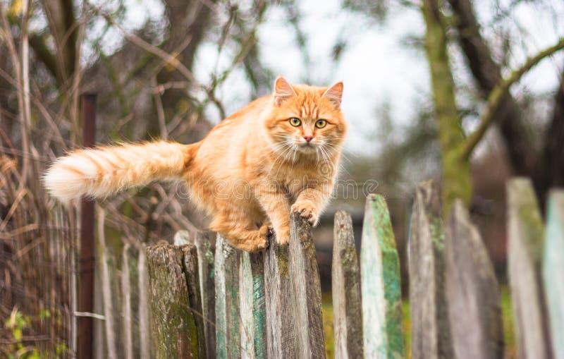 Puszysty imbirowy tabby kota odprowadzenie na stary drewnianym zdjęcia royalty free