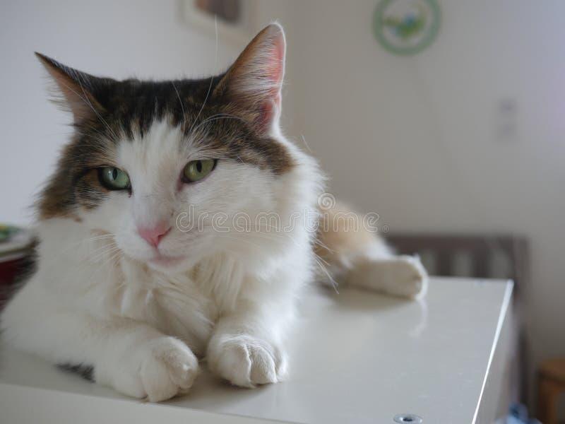 Puszysty kota obsiadanie na stołowy salowym fotografia royalty free