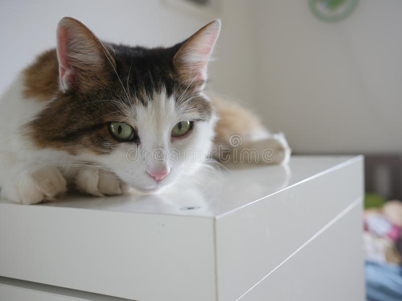 Puszysty kota obsiadanie na stołowy salowym zdjęcie stock