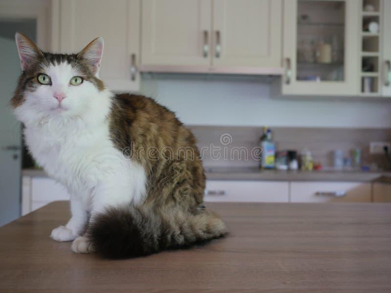 Puszysty kota obsiadanie na stołowy salowym obrazy royalty free