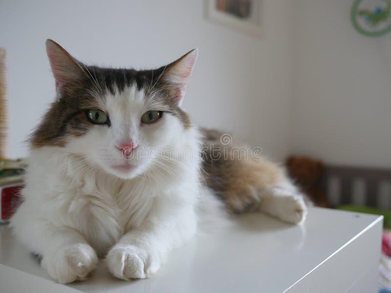 Puszysty kota obsiadanie na stołowy salowym obraz stock