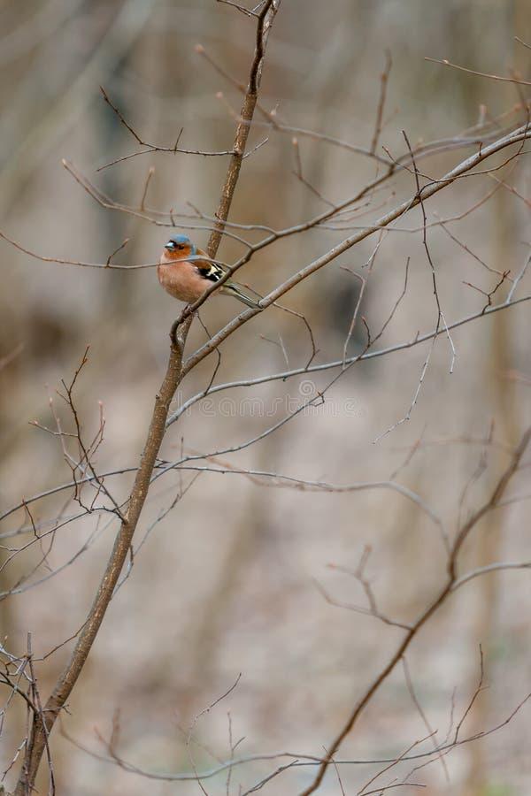 Puszysty lasowy ptasi rudzika redbreast dopatrywania obsiadanie na krzak gałąź w Kwietniu Europejski rudzika Erithacus rubecula M obraz stock