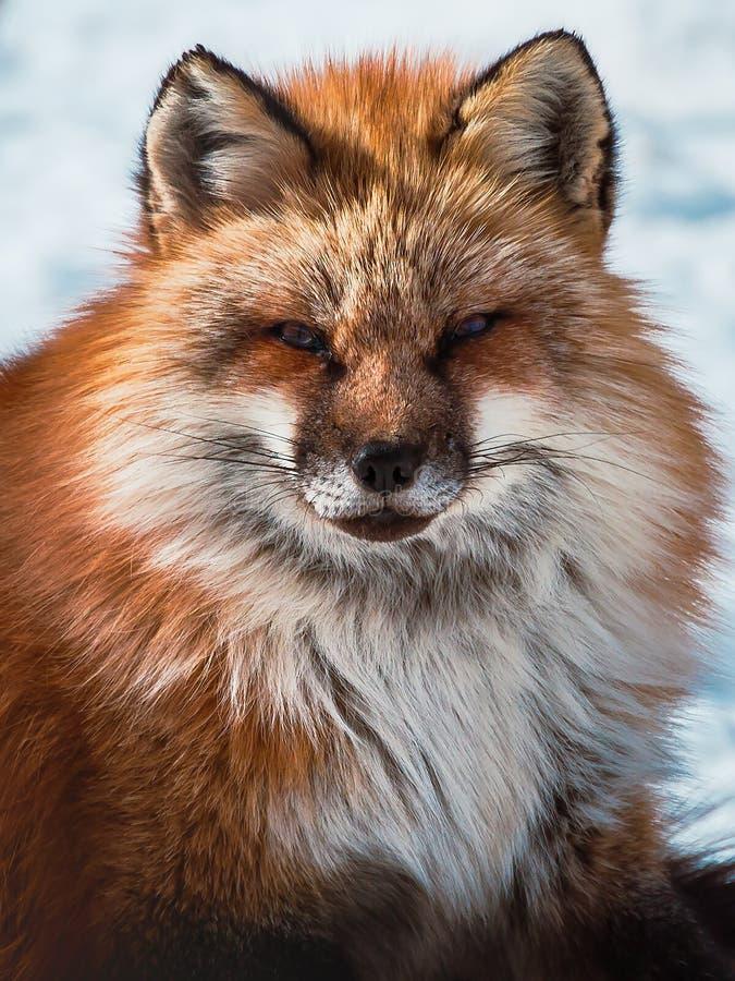 Puszysty ?liczny czerwonego lisa portret w zimie, zao, Miyagi, Tohoku teren, Japonia obraz royalty free