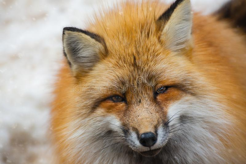 Puszysty ?liczny czerwonego lisa portret w zimie, zao, Miyagi, Tohoku teren, Japonia fotografia stock