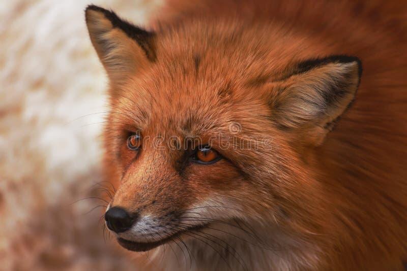 Puszysty ?liczny czerwonego lisa portret w zimie, zao, Miyagi, Tohoku teren, Japonia obrazy royalty free