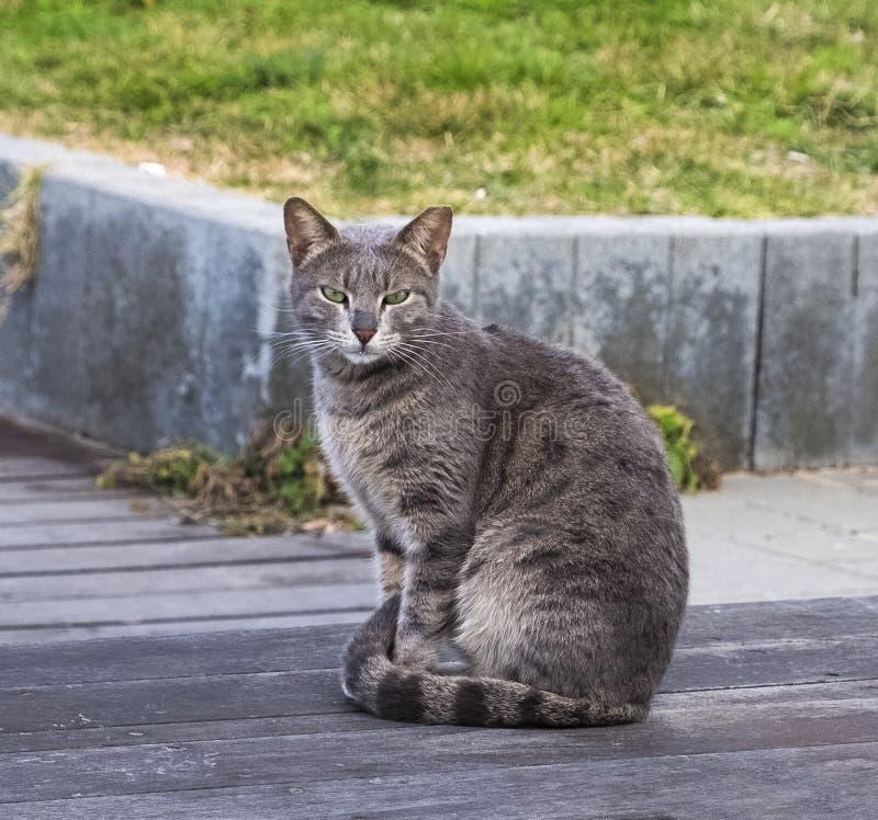 Puszysty pasiasty szary kota obsiadanie na drewnianym floore w cieniu drzewo na letnim dniu zdjęcie royalty free
