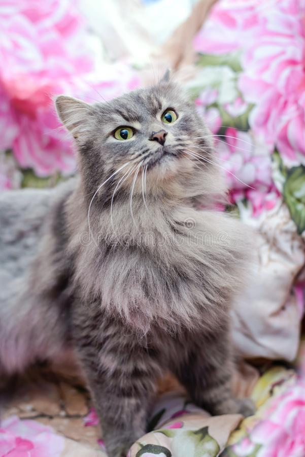 Puszysty popielaty kot w domu fotografia royalty free