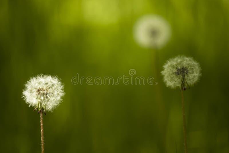 Puszysty round dandelion, zaświecający światłem słonecznym na zielonym tle z pięknym bokeh zdjęcie stock