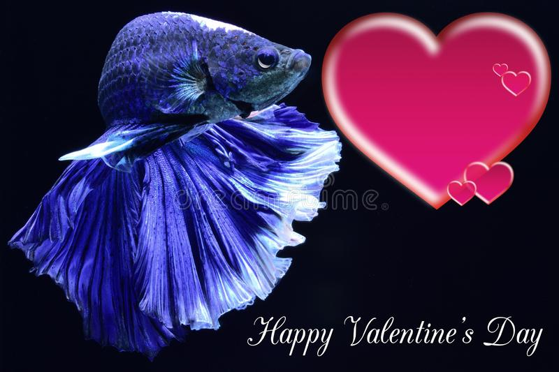 Valentine`s Day card with a heart on a betta fish background royalty free stock image