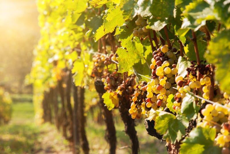 Putréfaction noble d'un raisin de cuve, photographie stock