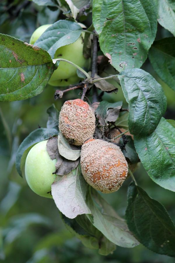 Putrefazione della frutta di Brown della mela causata dal fungo di Monilia fotografie stock libere da diritti