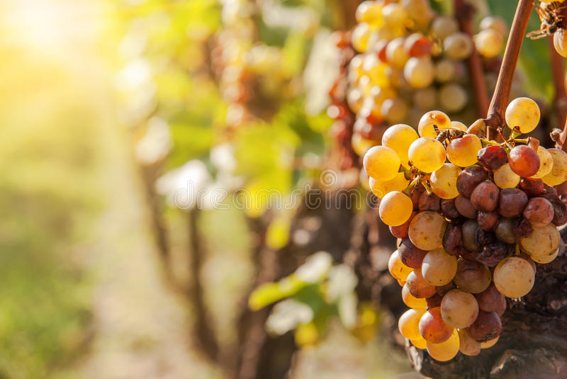 Putrefazione nobile di un acino d'uva, immagini stock