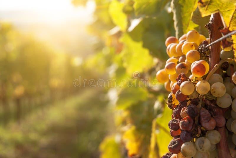 Putrefazione nobile di un acino d'uva, fotografia stock