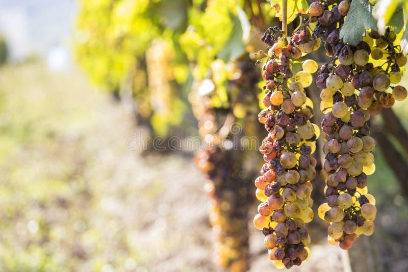Putrefazione nobile di un acino d'uva, uva botrytised fotografie stock libere da diritti