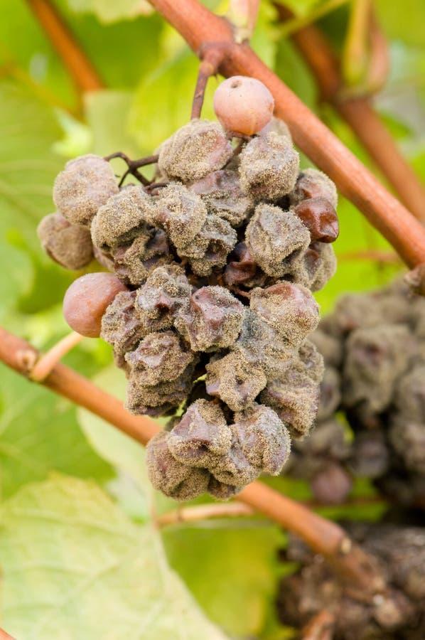 Putrefazione nobile di un acino d'uva, uva botrytised fotografia stock libera da diritti