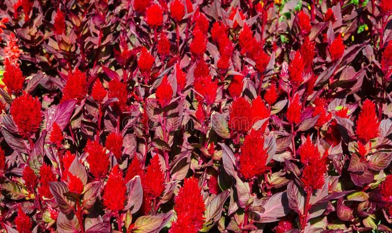 Putsad Celosia, röd ull blommar i sommar på en botanisk trädgård royaltyfri bild