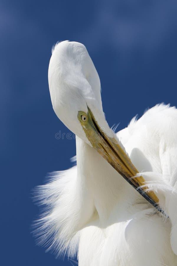 Putzen großen Reiher Ardea alba stockfoto