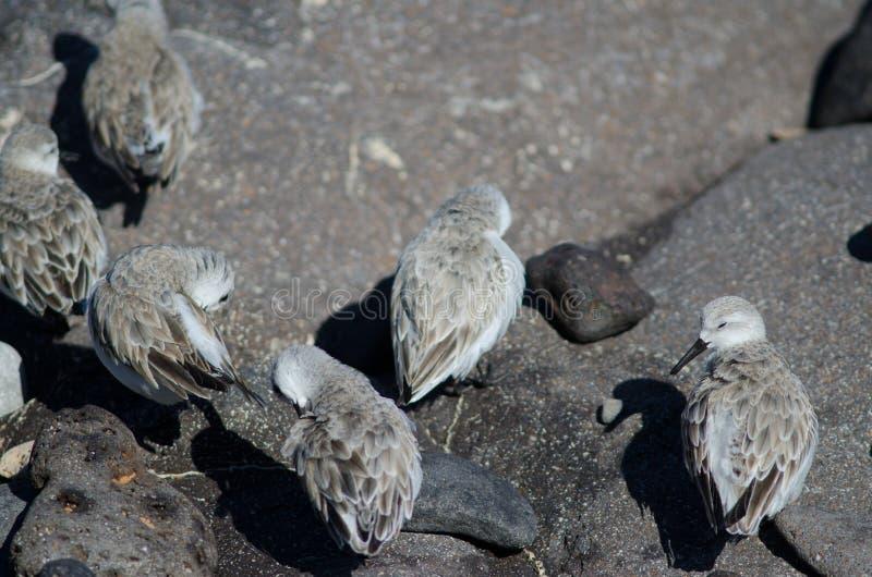 Putzen Sanderling Calidris alba lizenzfreies stockbild