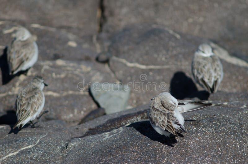 Putzen Sanderling Calidris alba stockfotografie