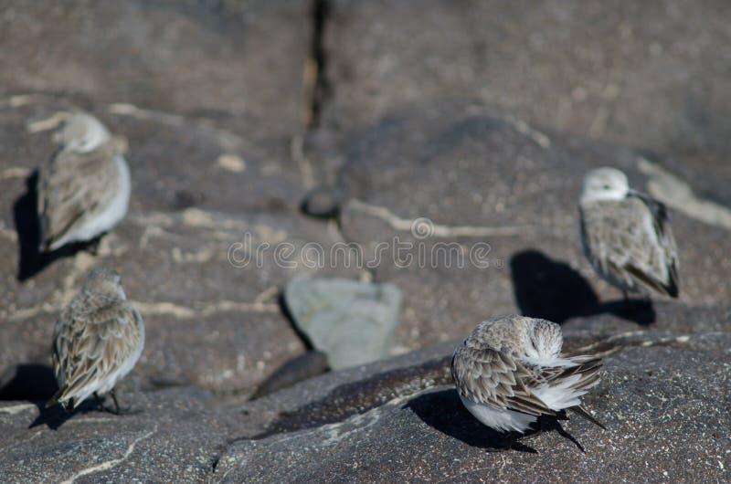 Putzen Sanderling Calidris alba lizenzfreie stockbilder