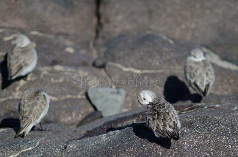Putzen Sanderling Calidris alba lizenzfreies stockfoto