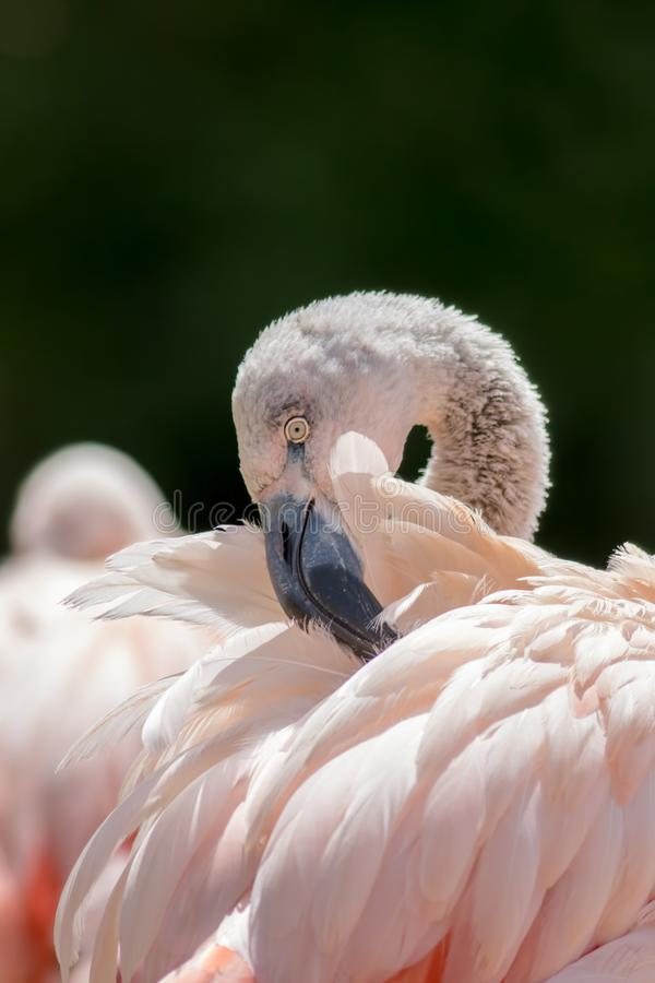 Putzende Federn Flamingovogel, der seine Federn putzt stockfotos