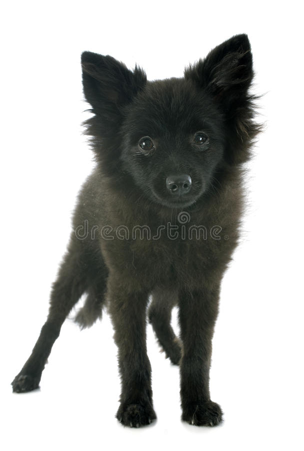 Puupy spitz. Puppy spitz in front of white background royalty free stock image